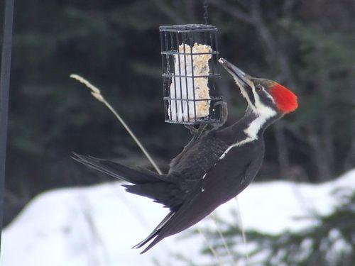 PileatedWoodpecker2