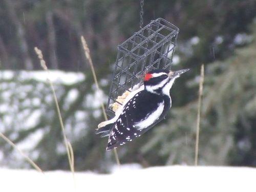 DownyWoodpecker