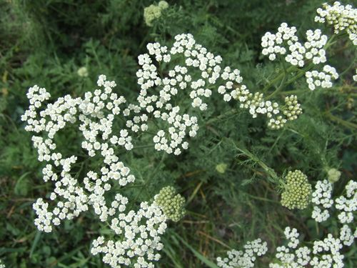 SummerYarrow