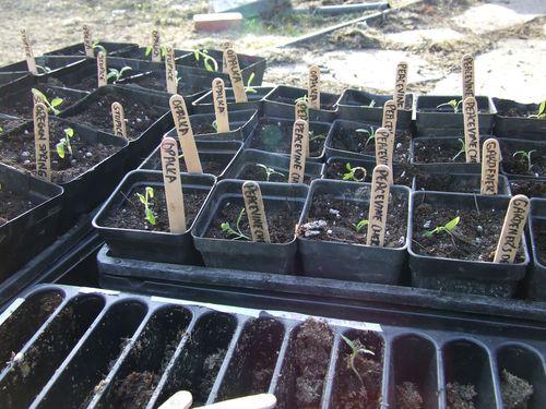 TransplantingTomatoes