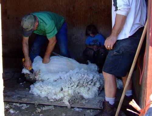 Shearing14