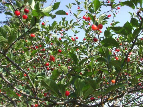 Cherrypicking1