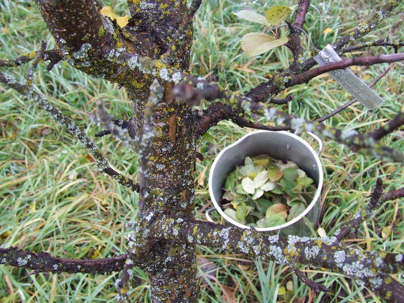 Apple leaves2