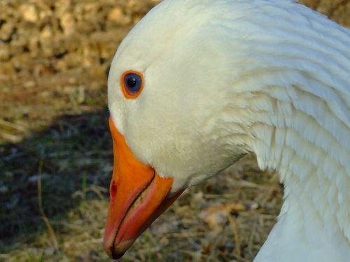GooseSpotBlue