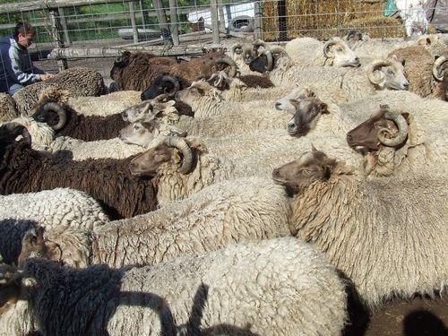 Shearing4