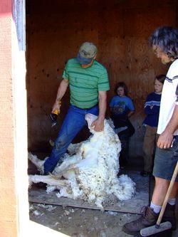 Shearing13