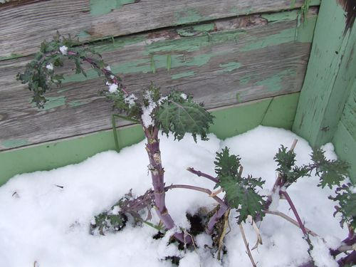 Nov  kale in cold frame
