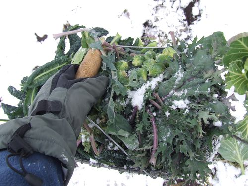 Nov 19 kale harvest