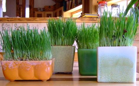 Easterwheatgrass