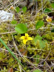 Yellowviolet