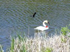 Swanrwblackbird1