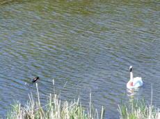 Swanrwblackbird2