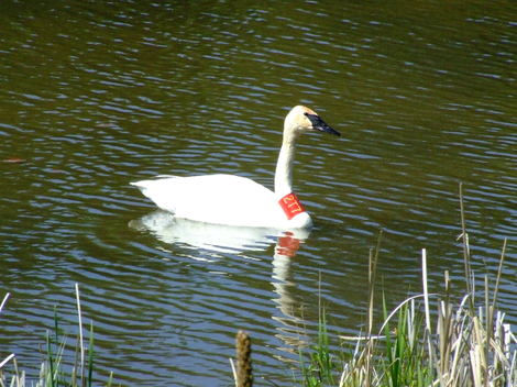 Swanupclose