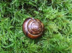Greenmosssnail