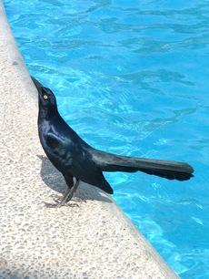 Blueblackbird