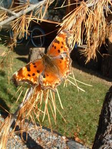 Butterflyonlarch