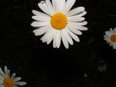 Daisydark