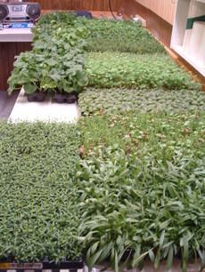 Greenbabies