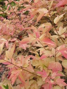 Highbushcranberrybush