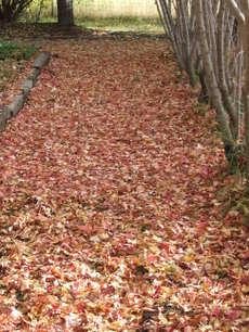 Mapleleafcarpet