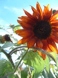 Peggyssunflower