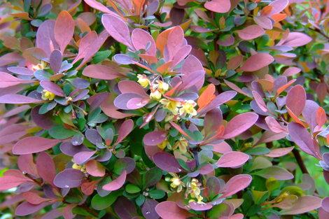 Roseglowbarberry_2
