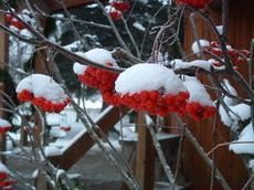 Snowyrowanberries