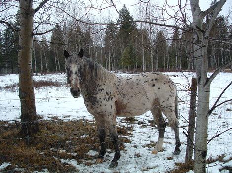 Spottyhorse_1