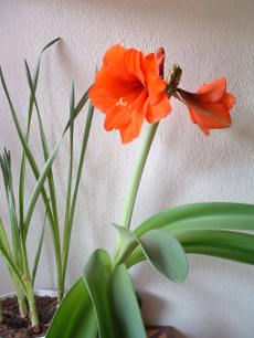 Springamaryllis