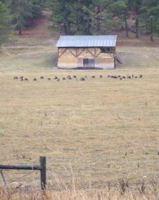 Turkeys_in_the_field_2