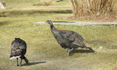 Turkeys_up_close_3
