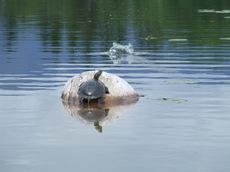 Turtleonlog_1