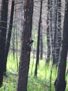 Woodpeckerinburn_1