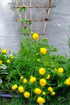 Yellowtrollius